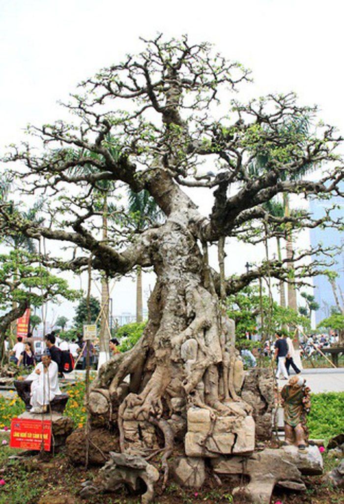 cây-canh-dat-nhat-viet-nam-3