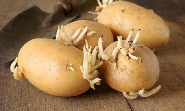 Cách trị mụn cóc bằng khoai tây mọc mầm