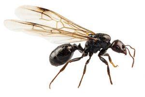 Kiến cánh bay - hiện tượng vũ hóa của loài kiến