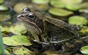 Mơ thấy ếch là điềm gì