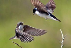chim sẻ bay vào nhà