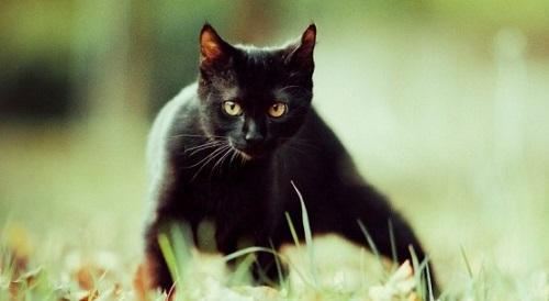 mơ thấy mèo đen