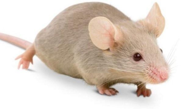 Con chuột số mấy